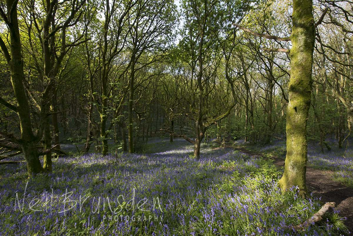 Bluebell Woods 6