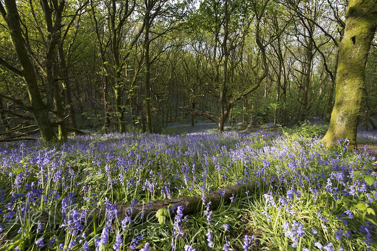 Bluebell Woods 7