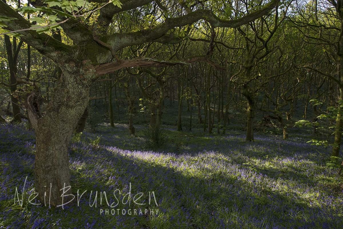 Bluebell Woods 9