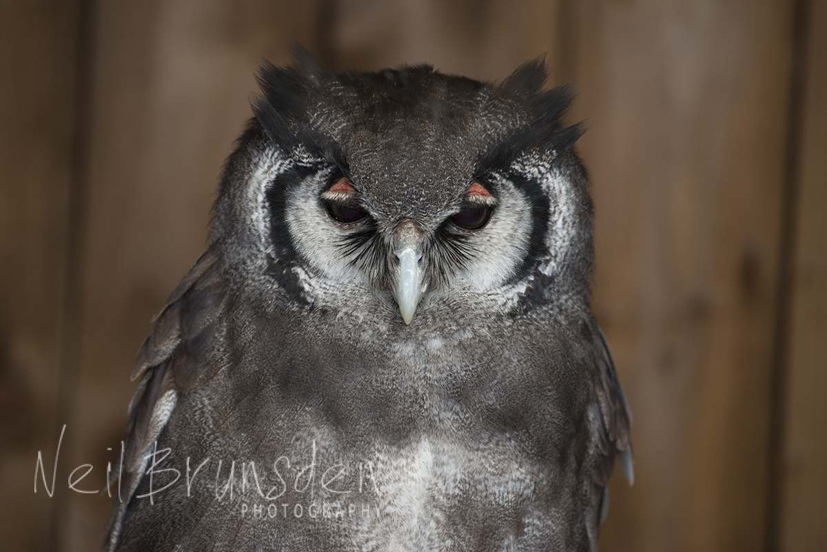 Ernie - The Verreaux's Eagle Owl