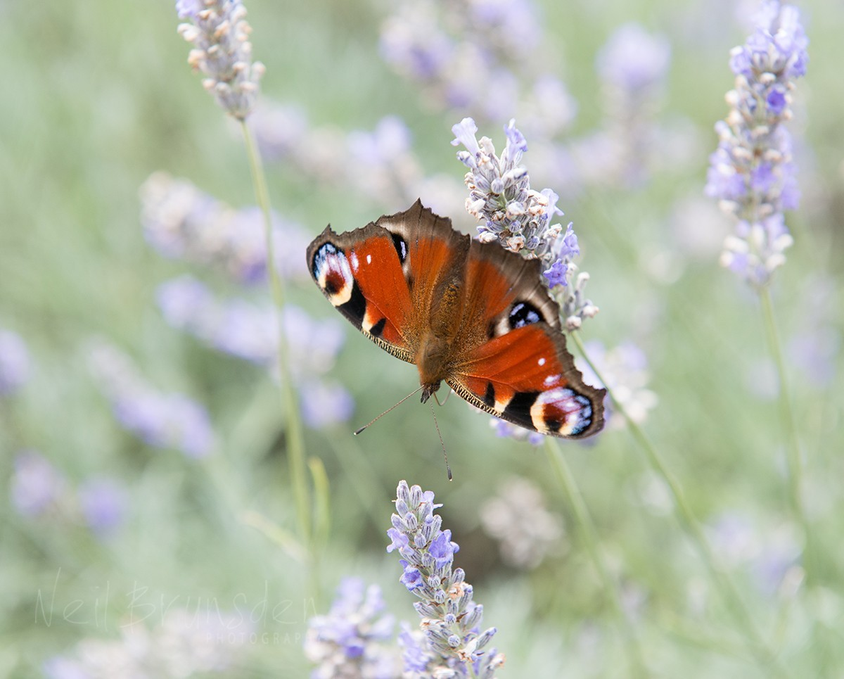 Peacock Butterfly on Lavender