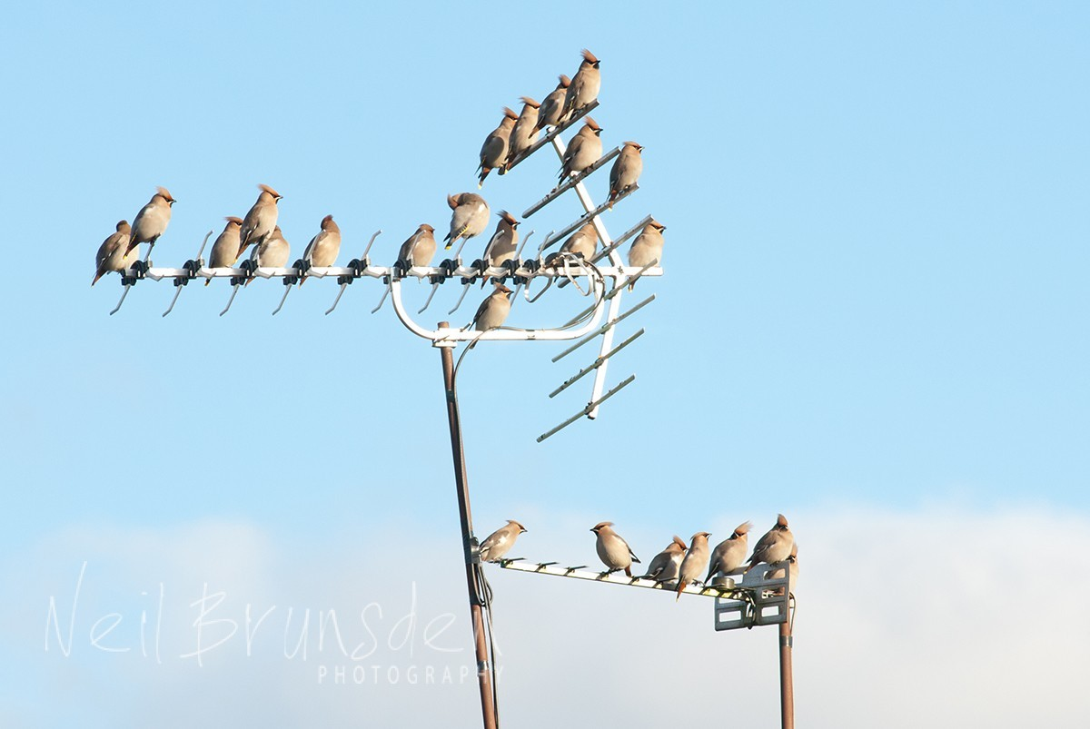 Waxwings' Pitstop