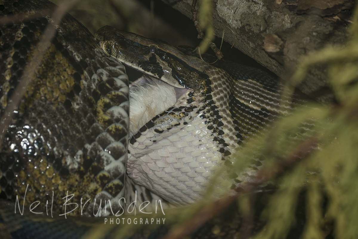 Burmese Python - Lunch Time