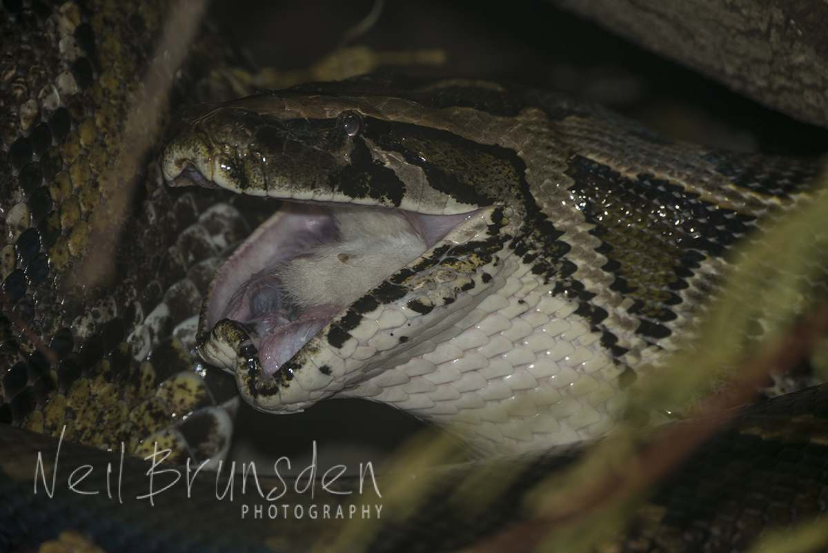 Burmese Python - Lunch Time 2